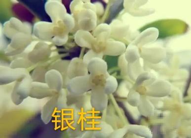 你知道桂林为什么叫桂林吗?